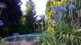 Agapanthus in Blüte